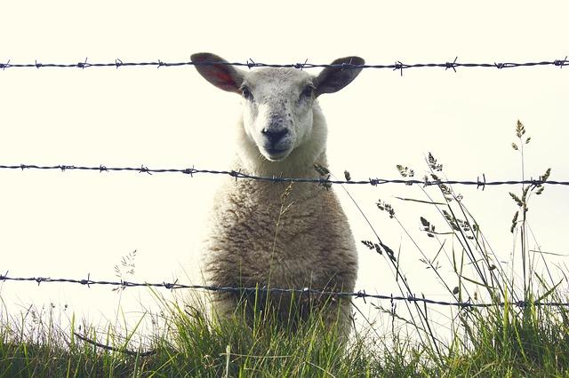sheep-909136_640